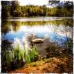 Swan Lake... (24.04.2014, Fechenheimer Waldsee) Foto © Hans Keller
